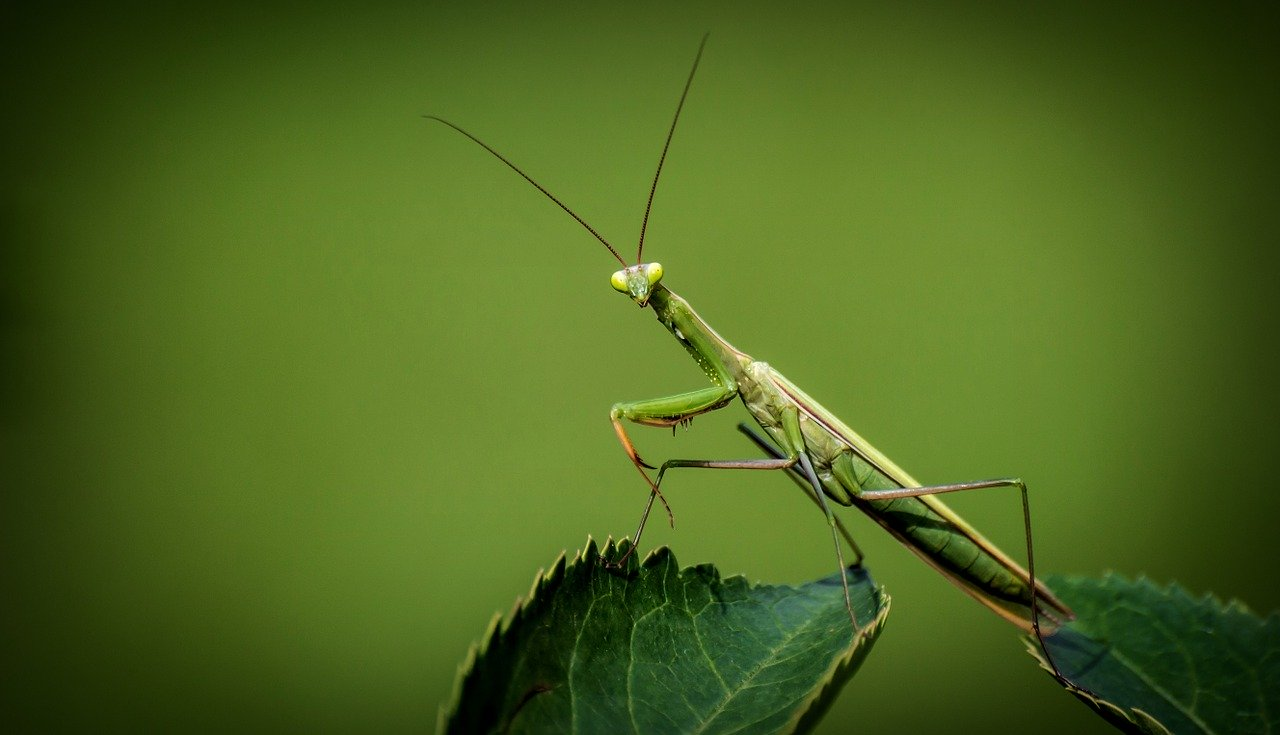 a picture of praying mantis