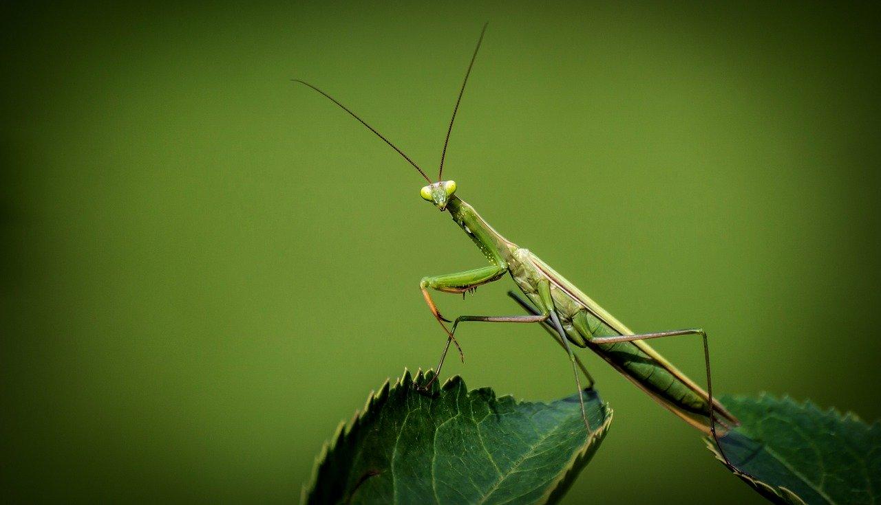 a picture of praying mantis