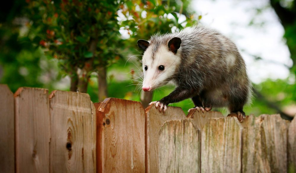 picture of a possum