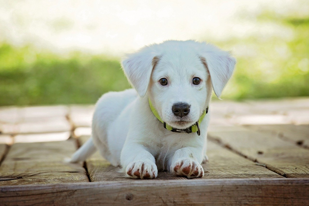 a white puppy sits and looks at the screen
